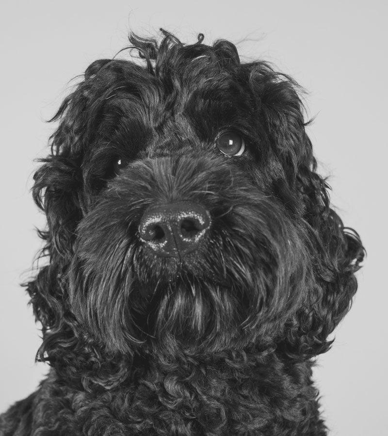 Hudson the office dog
